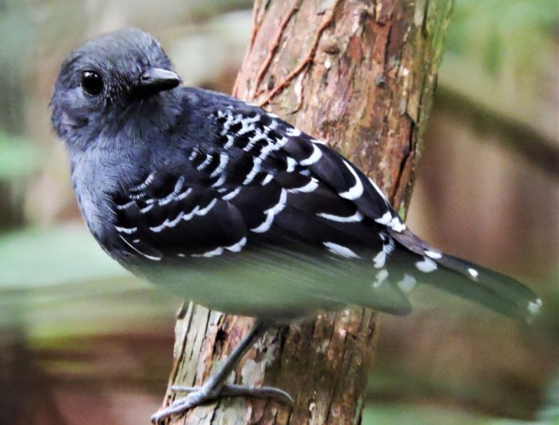 Scaled-backed Antbird