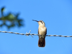 Xantu's Hummingbird-Female